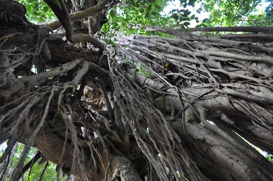 Bali - old tree